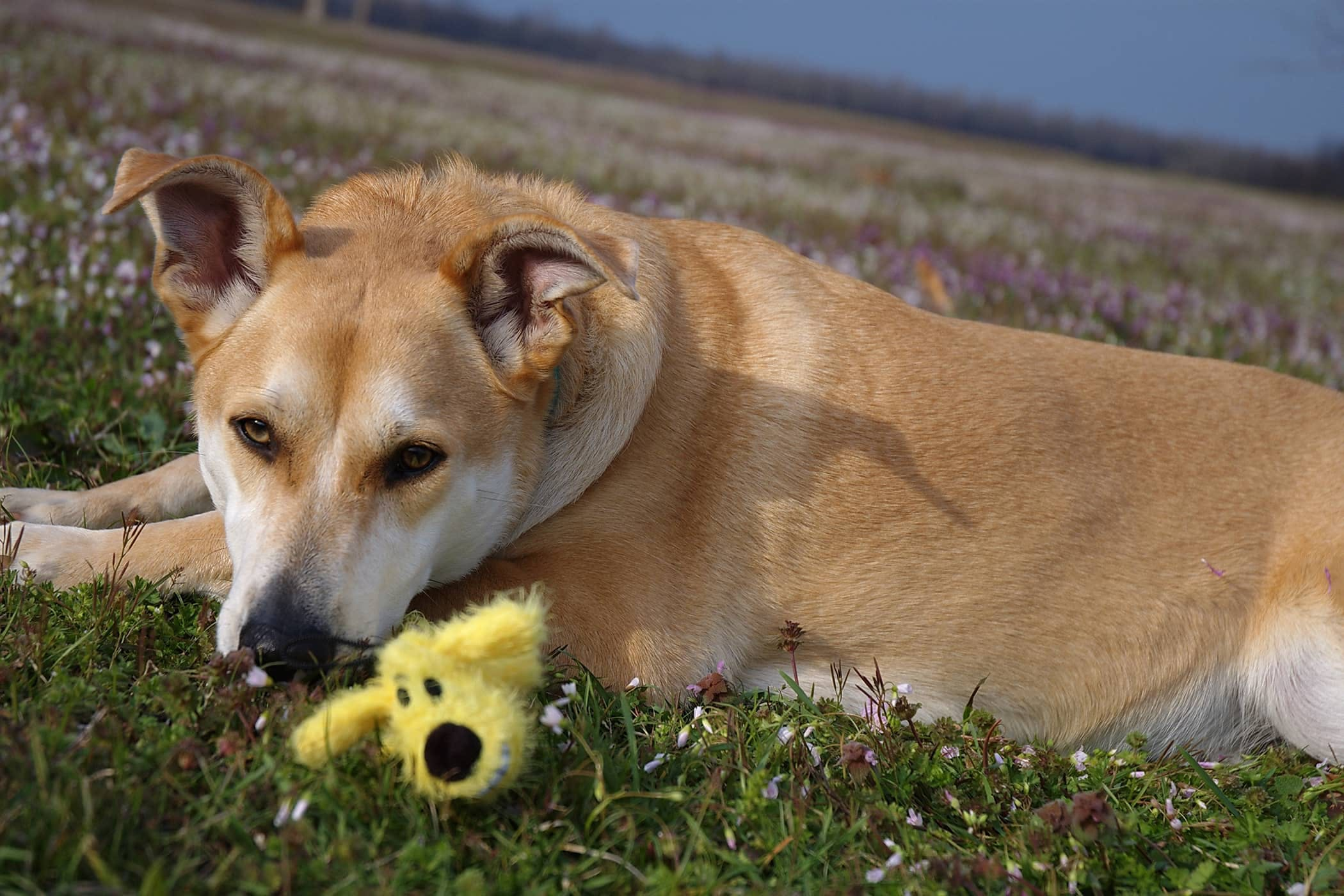 Exercise Intolerance in Dogs - Symptoms, Causes, Diagnosis