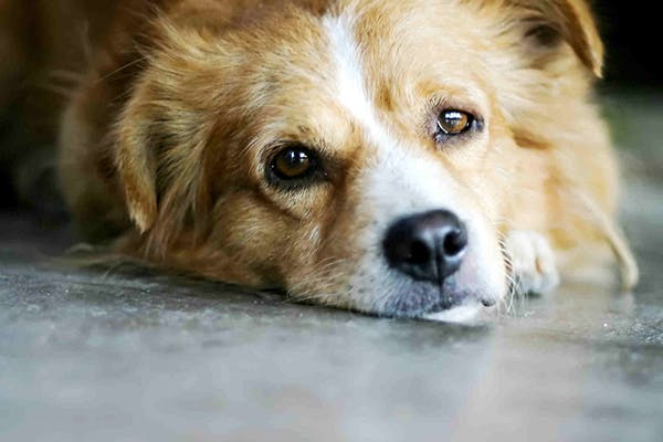 Exogenous Estrogen Toxicity in Dogs - Symptoms, Causes, Diagnosis, Treatment, Recovery, Management, Cost
