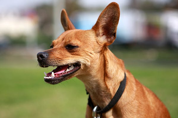 Exotica Poisoning in Dogs - Symptoms, Causes, Diagnosis, Treatment, Recovery, Management, Cost