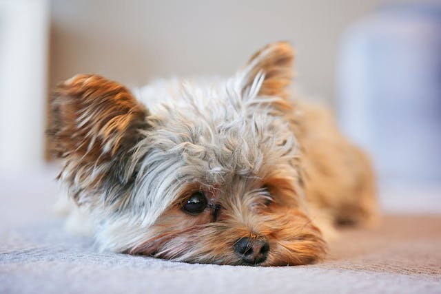 Extreme Fear and Anxiety in Dogs - Symptoms, Causes, Diagnosis, Treatment, Recovery, Management, Cost