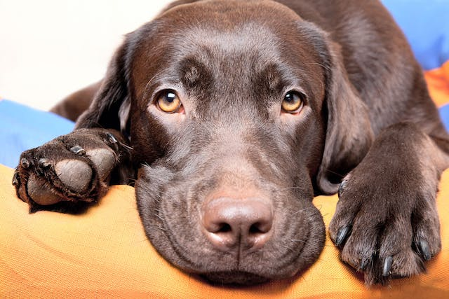 Eye Defects (Congenital) in Dogs - Symptoms, Causes, Diagnosis, Treatment, Recovery, Management, Cost