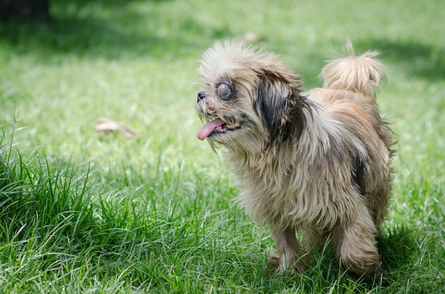 Eye Displacement in Dogs - Symptoms, Causes, Diagnosis, Treatment, Recovery, Management, Cost