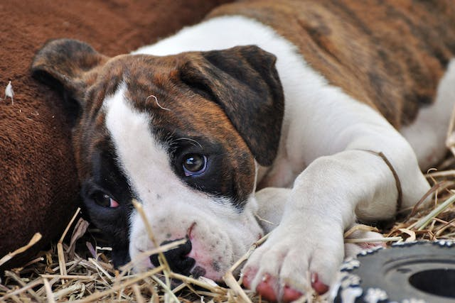 Eye Infection (Newborns) in Dogs - Symptoms, Causes, Diagnosis, Treatment, Recovery, Management, Cost