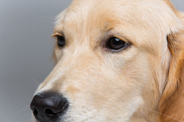 Eye Inflammation (Choroid and Retina) in Dogs - Symptoms, Causes, Diagnosis, Treatment, Recovery, Management, Cost