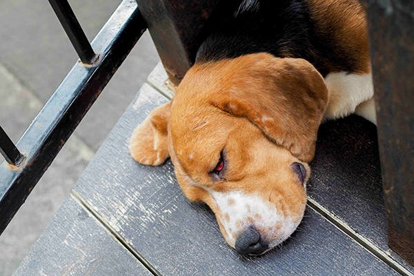 Eyelid Tumors in Dogs - Symptoms, Causes, Diagnosis, Treatment, Recovery, Management, Cost