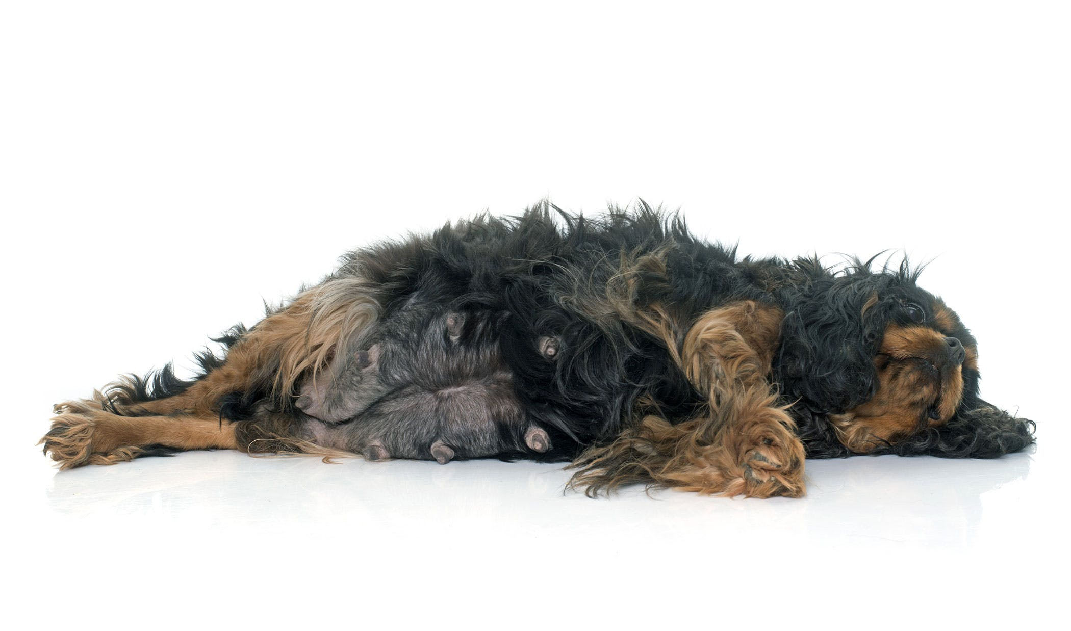 False Pregnancy in Dogs - Symptoms, Causes, Diagnosis, Treatment