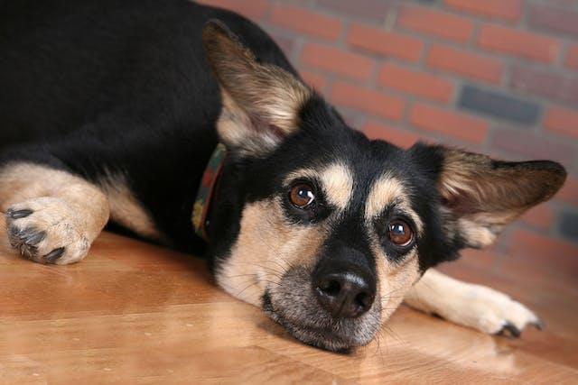 Familial Kidney Disease in Dogs - Symptoms, Causes, Diagnosis, Treatment, Recovery, Management, Cost