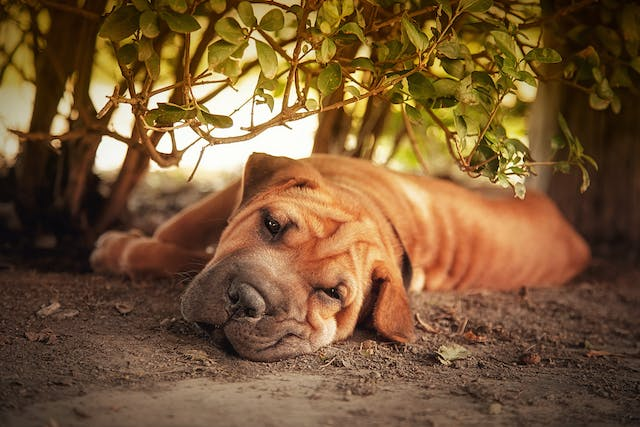 Familial Shar-Pei Fever in Dogs - Symptoms, Causes, Diagnosis, Treatment, Recovery, Management, Cost