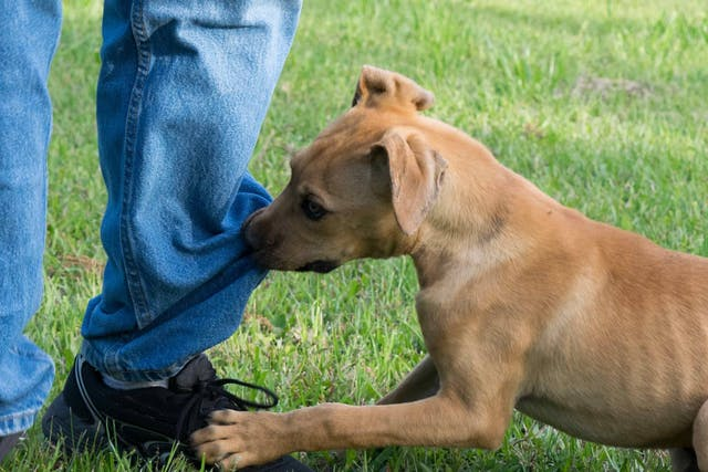 Fear of Noise in Dogs - Symptoms, Causes, Diagnosis, Treatment, Recovery, Management, Cost