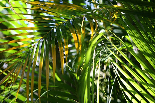Fern Palm Poisoning in Dogs - Symptoms, Causes, Diagnosis, Treatment, Recovery, Management, Cost