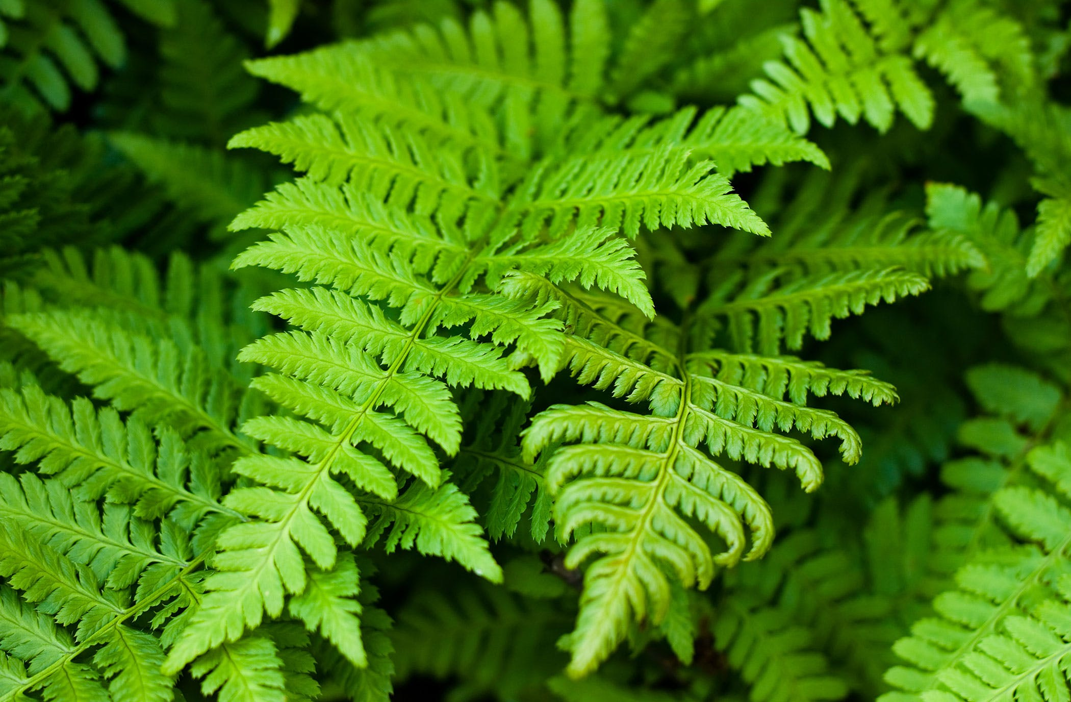 Ferns  Poisoning in Dogs Symptoms Causes Diagnosis