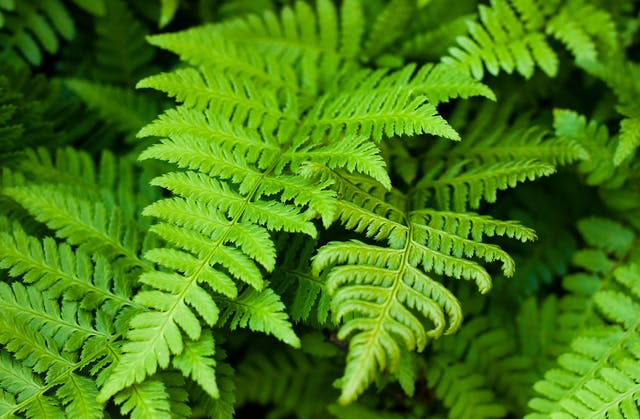 Ferns Poisoning in Dogs - Symptoms, Causes, Diagnosis, Treatment, Recovery, Management, Cost