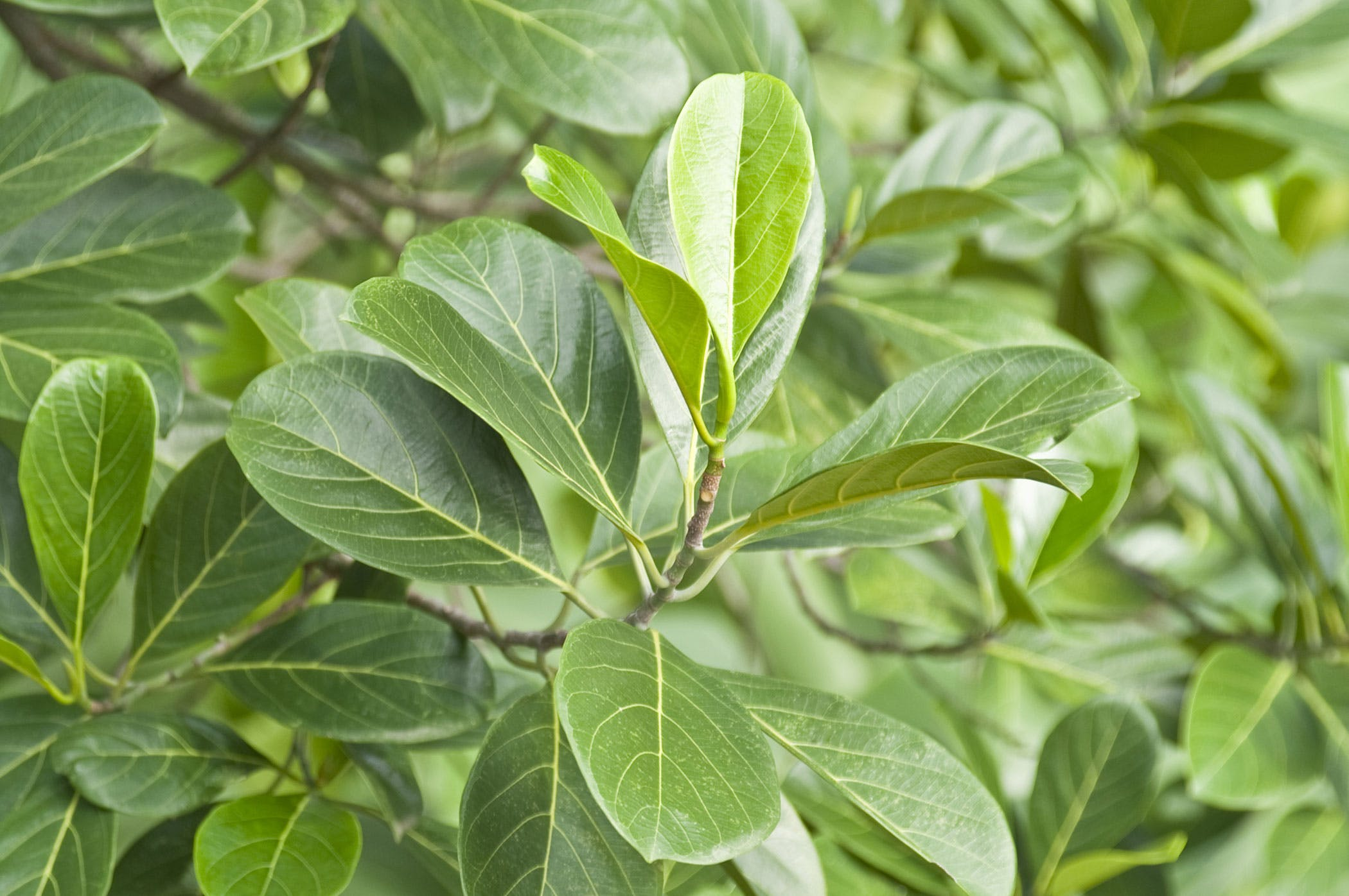 Ficus Poisoning in Dogs