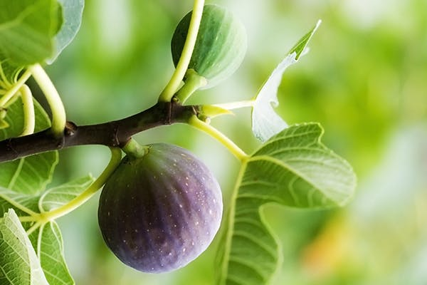 Fig Poisoning In Dogs Symptoms Causes Diagnosis Treatment