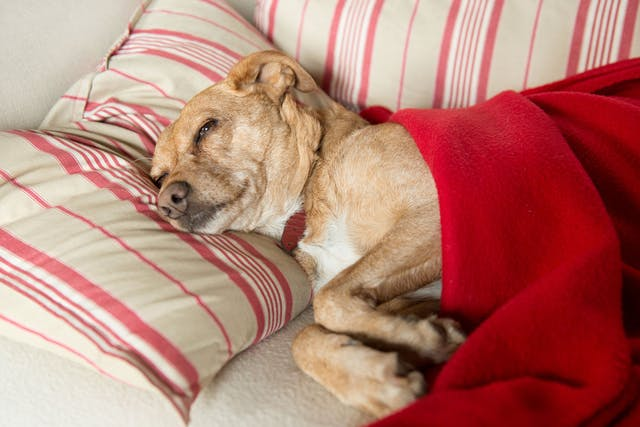 Firocoxib Poisoning in Dogs - Symptoms, Causes, Diagnosis, Treatment, Recovery, Management, Cost