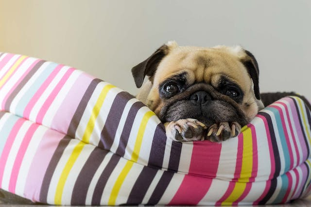 Flea Treatment Allergies in Dogs - Symptoms, Causes, Diagnosis, Treatment, Recovery, Management, Cost