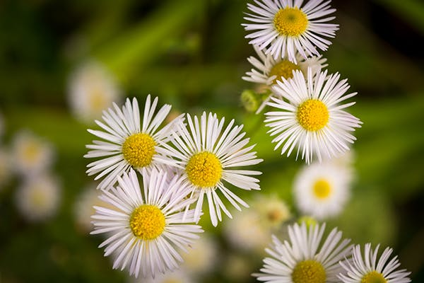 Fleabane Poisoning in Dogs - Symptoms, Causes, Diagnosis, Treatment, Recovery, Management, Cost