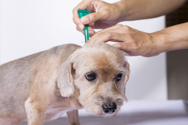 Fleas in Dogs - Symptoms, Causes, Diagnosis, Treatment, Recovery, Management, Cost