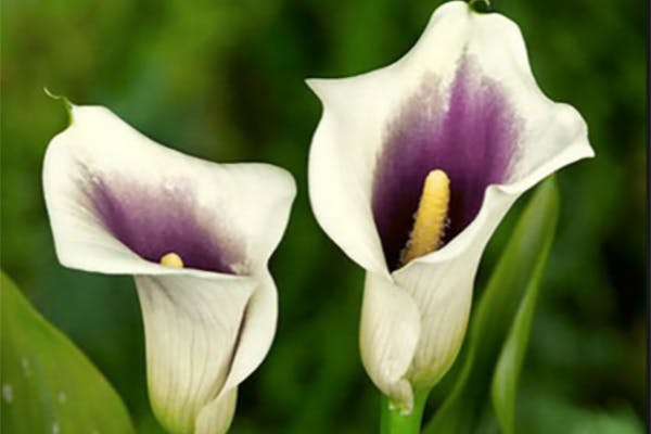 Florist's Calla Poisoning in Dogs - Symptoms, Causes, Diagnosis, Treatment, Recovery, Management, Cost