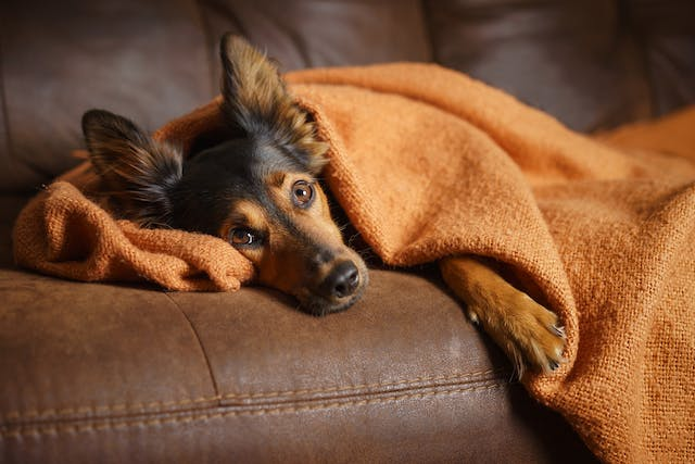 Flu in Dogs - Symptoms, Causes, Diagnosis, Treatment, Recovery, Management, Cost