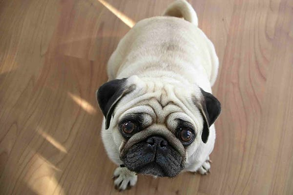 Folded or Everted Third Eyelid in Dogs - Symptoms, Causes, Diagnosis, Treatment, Recovery, Management, Cost