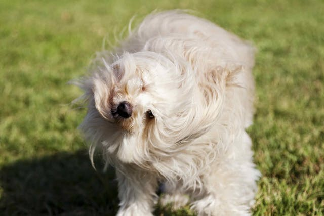Foul Smelling Ears in Dogs - Symptoms, Causes, Diagnosis, Treatment, Recovery, Management, Cost