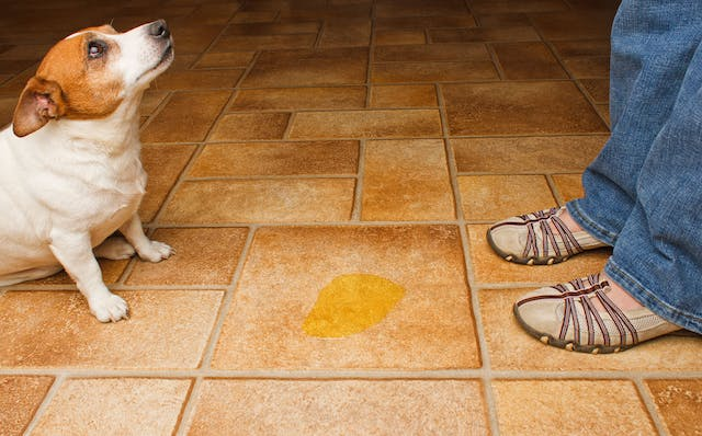 Frequent Urination in Dogs - Symptoms, Causes, Diagnosis, Treatment, Recovery, Management, Cost