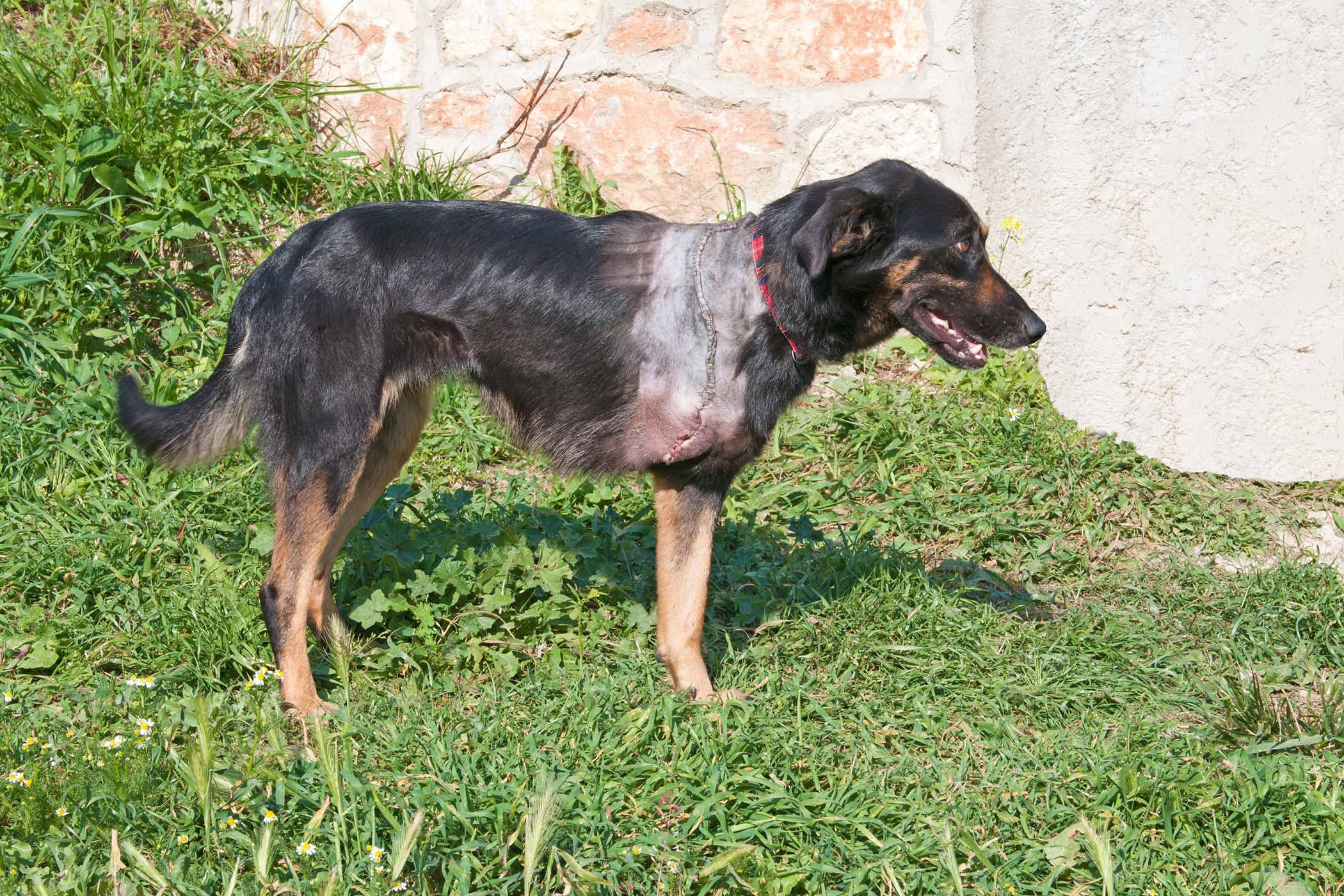 Front Leg Deformity in Dogs - Symptoms, Causes, Diagnosis, Treatment