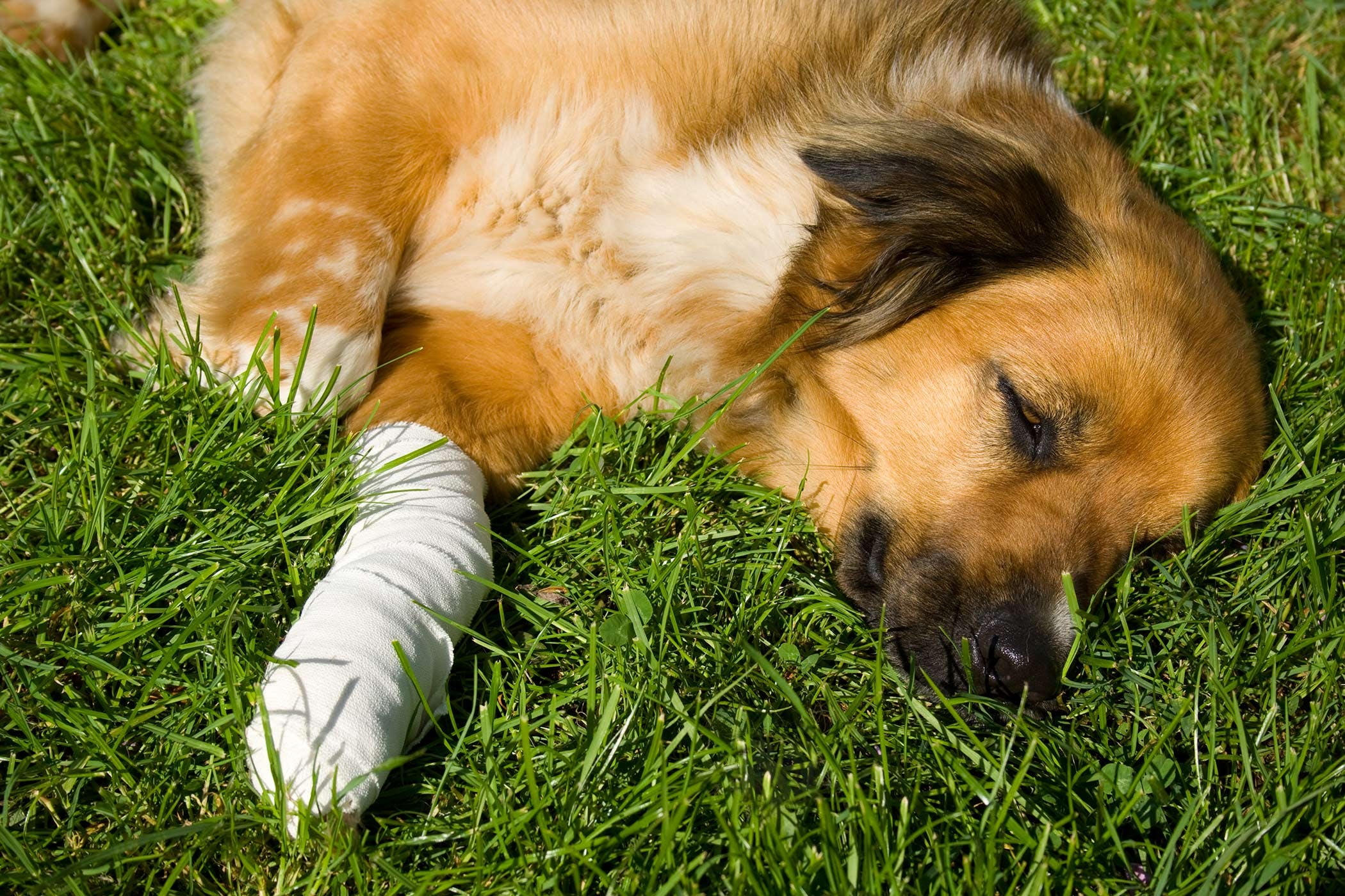 Front Leg Injury in Dogs - Symptoms, Causes, Diagnosis, Treatment ...