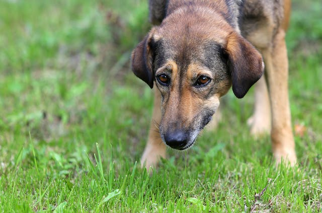 Fungal Infection of the Lower Urinary Tract in Dogs - Symptoms, Causes, Diagnosis, Treatment, Recovery, Management, Cost