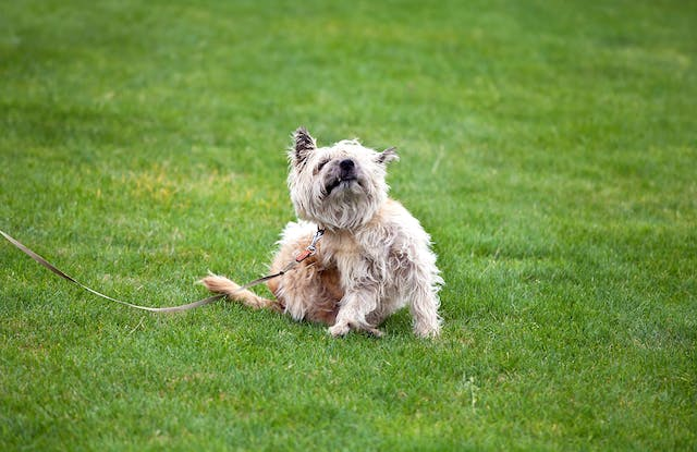 Fungal Infection (Yeast) in Dogs - Symptoms, Causes, Diagnosis, Treatment, Recovery, Management, Cost