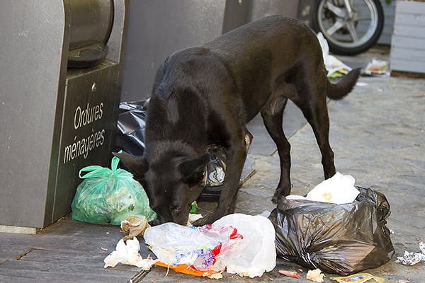 Garbage Toxicosis (Garbage Gut) in Dogs - Signs, Causes, Diagnosis, Treatment, Recovery, Management, Cost