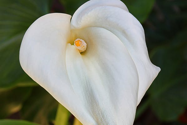 Garden Calla Poisoning in Dogs - Symptoms, Causes, Diagnosis, Treatment, Recovery, Management, Cost