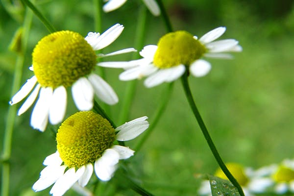 Garden Chamomile Poisoning in Dogs - Symptoms, Causes, Diagnosis, Treatment, Recovery, Management, Cost