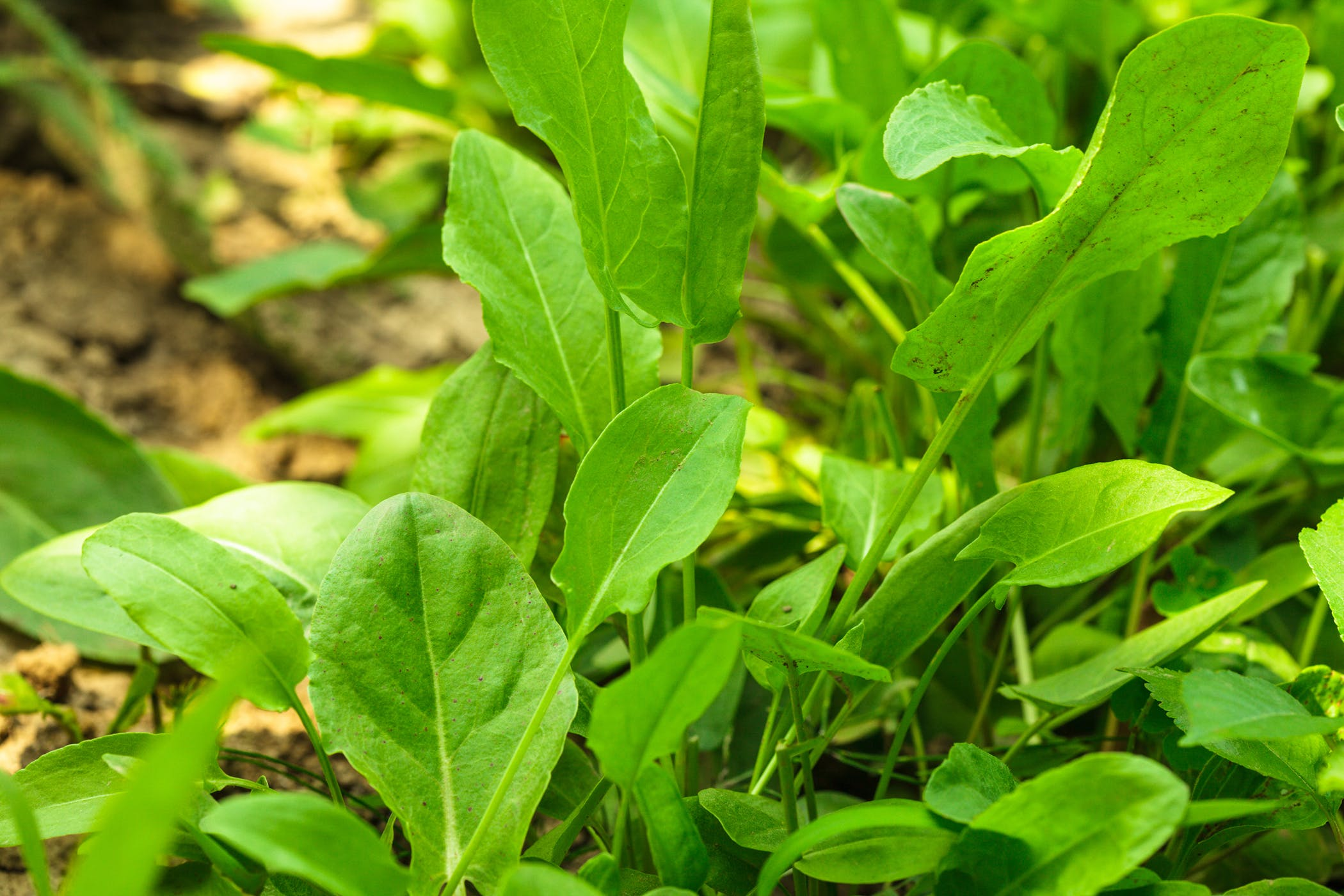 Garden Sorrel Poisoning in Dogs - Symptoms, Causes ... Garden Sorrel