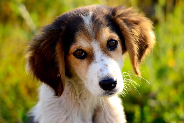 Genetic Reproductive Abnormalities in Dogs - Symptoms, Causes, Diagnosis, Treatment, Recovery, Management, Cost