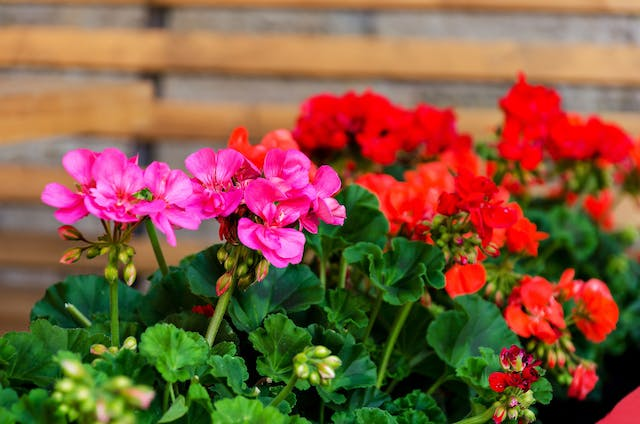 Geranium Poisoning in Dogs - Symptoms, Causes, Diagnosis, Treatment, Recovery, Management, Cost
