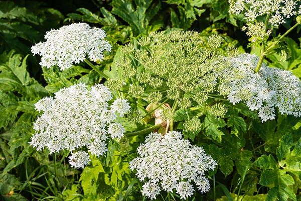 Giant Hogweed Poisoning In Dogs Symptoms Causes Diagnosis