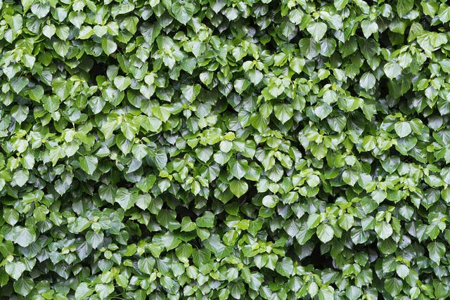Glacier Ivy Poisoning in Dogs - Symptoms, Causes, Diagnosis, Treatment, Recovery, Management, Cost