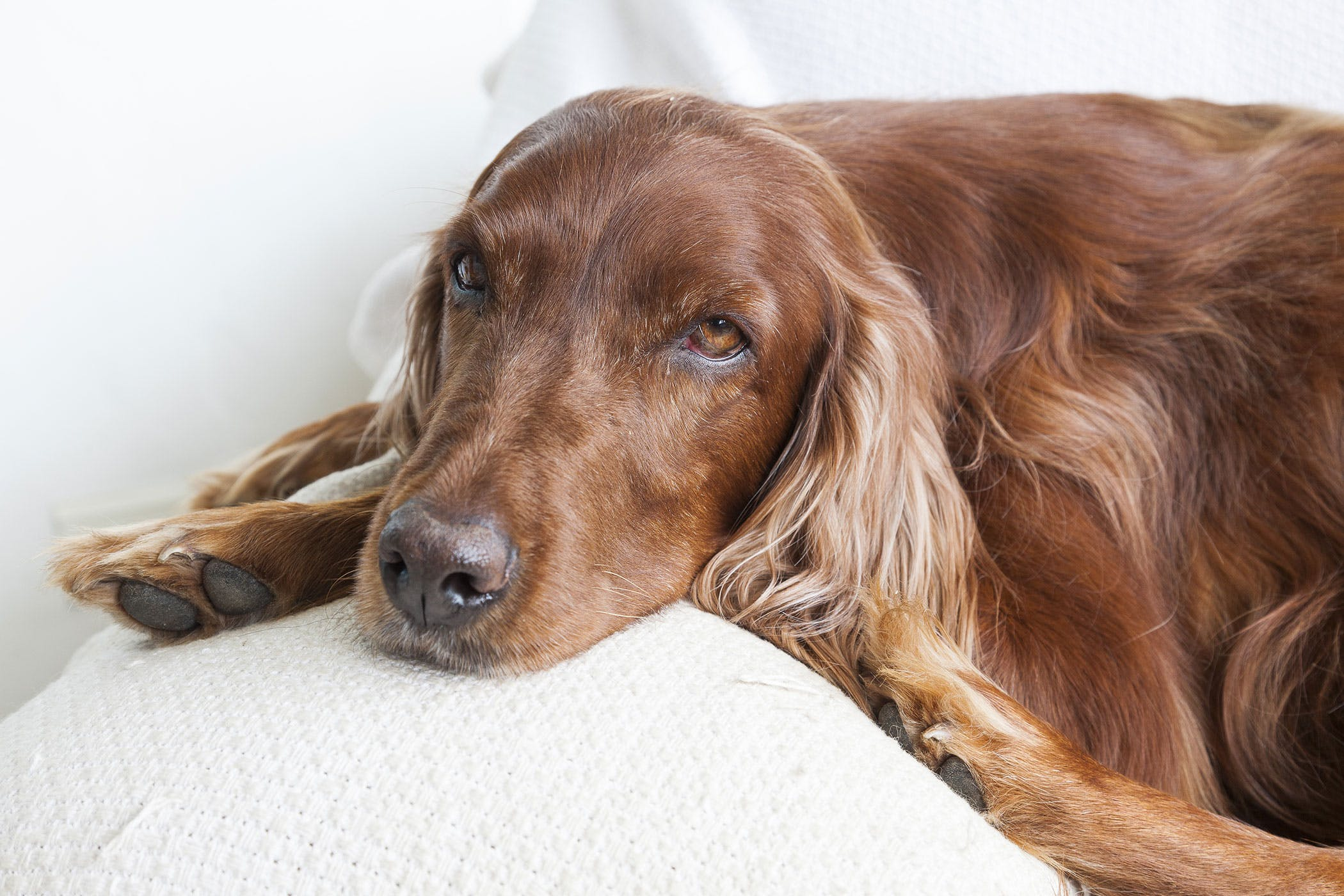 gluten sensitive enteropathy irish setters in dogs. Black Bedroom Furniture Sets. Home Design Ideas