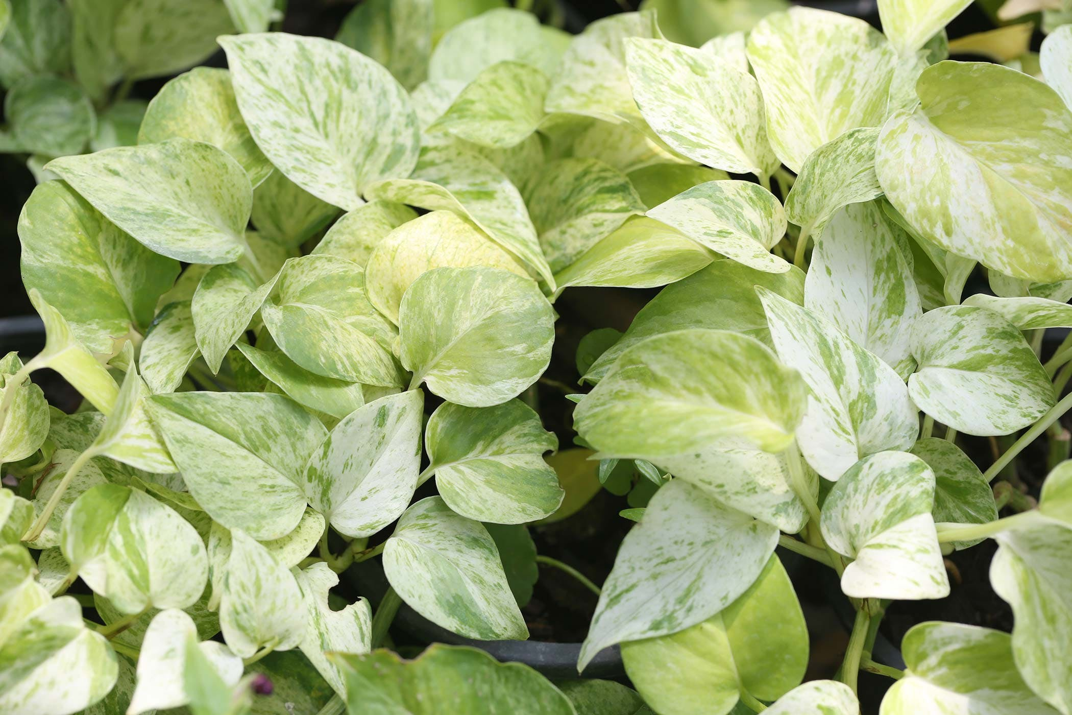 Golden Pothos Tree Poisoning In Dogs Symptoms Causes Diagnosis Treatment Recovery Management Cost