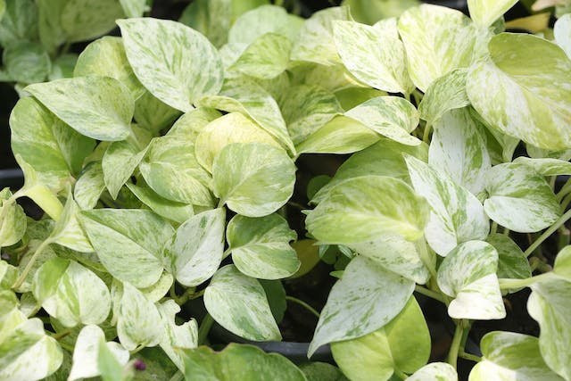 Golden Pothos Tree Poisoning in Dogs - Symptoms, Causes, Diagnosis, Treatment, Recovery, Management, Cost