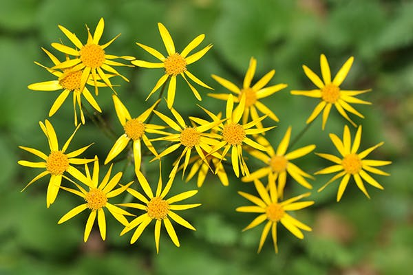 Golden Ragwort Poisoning in Dogs - Symptoms, Causes, Diagnosis, Treatment, Recovery, Management, Cost