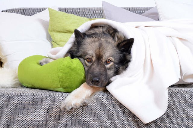 Greenies Allergies in Dogs - Symptoms, Causes, Diagnosis, Treatment, Recovery, Management, Cost