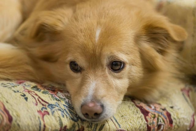 Growth Plate Injuries in Dogs - Symptoms, Causes, Diagnosis, Treatment, Recovery, Management, Cost