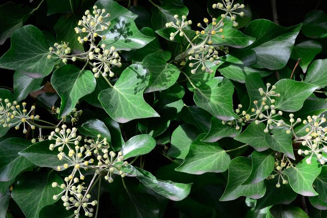 Hahn's Self Branching English Ivy Poisoning in Dogs - Symptoms, Causes, Diagnosis, Treatment, Recovery, Management, Cost