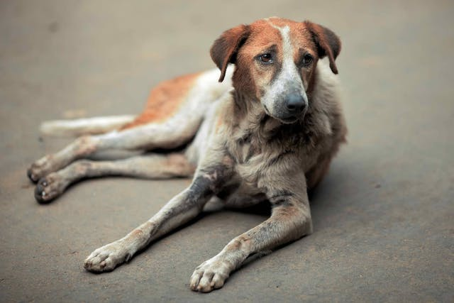Hair Cycle Arrest in Dogs - Symptoms, Causes, Diagnosis, Treatment, Recovery, Management, Cost