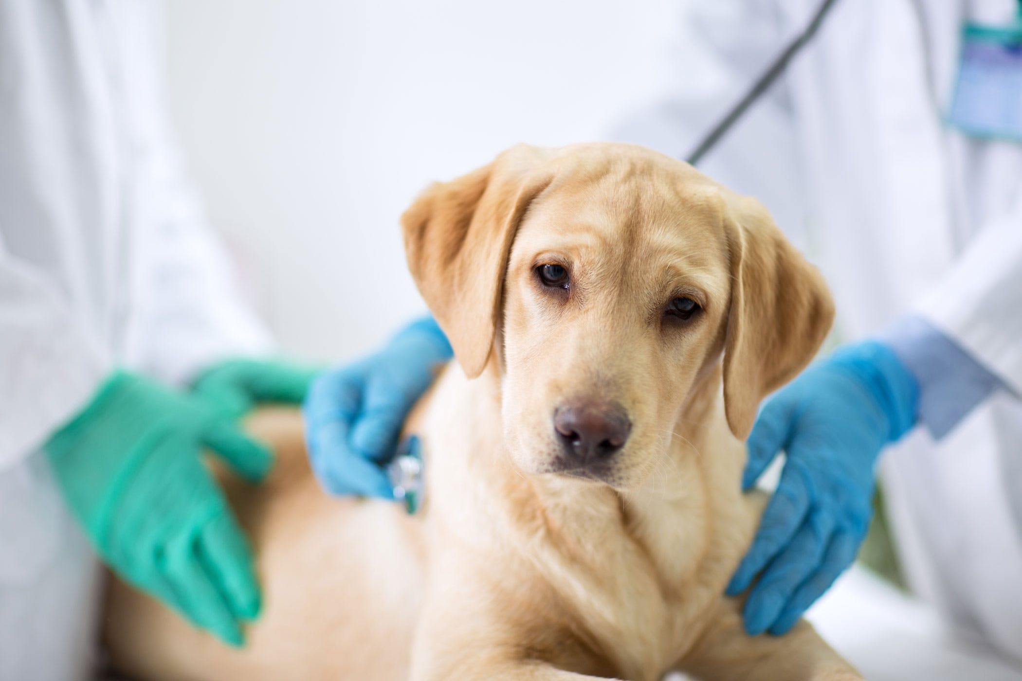 Hand Warmers Metals Poisoning in Dogs - Symptoms, Causes, Diagnosis
