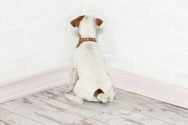Head Pressing in Dogs - Symptoms, Causes, Diagnosis, Treatment, Recovery, Management, Cost