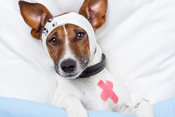 Head Trauma in Dogs - Signs, Causes, Diagnosis, Treatment, Recovery, Management, Cost